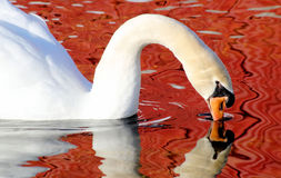 Beautiful Swan And Her Reflection Stock Images