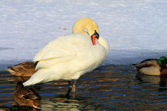 Beautiful   swan on the ice  in winter. Royalty Free Stock Images