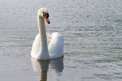 Beautiful swan on the lake Stock Images