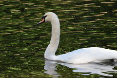 Beautiful swan Royalty Free Stock Photography