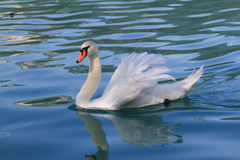 Beautiful swan. Swan on lake Bled Slovenia Royalty Free Stock Images