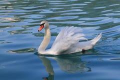Beautiful swan Royalty Free Stock Images