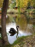 Beautiful swan on the lake shore Stock Photos