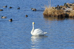 Beautiful swan on the lake Royalty Free Stock Photo