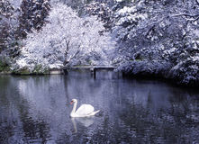 Beautiful Swan Lake Winter Scene Concept Stock Images