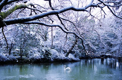 Beautiful Swan Lake in Winter Scene Peaceful Concept Royalty Free Stock Photo