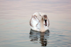 Beautiful swan. A swan that is looking at it's reflection in the water Royalty Free Stock Photography
