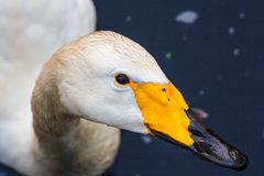 Portrait of a swan stock photography