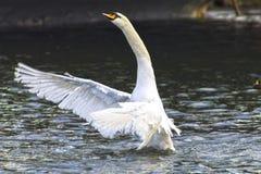 Beautiful swan majestically waving wings. Horizontal shot, theme - the nature, animals Royalty Free Stock Photo