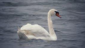 Beautiful swan In the ocean. Sea, muteswan, swans, swim, swimming, water, waterbird, waterbirds, white, whitebird, beauty, beautyinnature, beautifulbirds royalty free stock photography