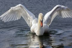 Beautiful swan with outstretched wings. In Orestiada Lake of Kastoria, Greece. The lake is part of the Aegean Lakes group and is located at 703 meters above sea stock photos