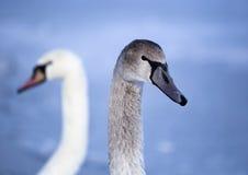 Beautiful swan portrait Stock Photography