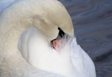 Beautiful Swan Preening Her Feathers Royalty Free Stock Images