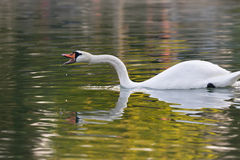 Beautiful swan reflection while yelling. Stock Photos