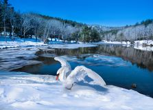 Beautiful swan relaxing on the snow by the lake in frosted forest. Beautiful bird spreading wings on the snow by the lake in frosted forest. Winter scenery Royalty Free Stock Photography
