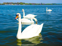 Beautiful Swan in the a river Stock Image