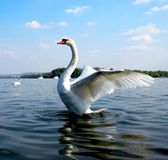 Beautiful Swan in the  a river Stock Photo
