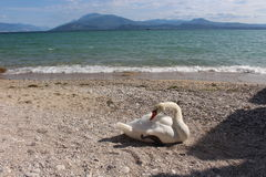 A beautiful swan. On the shore near the lake in sirmione Stock Image