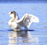 Swan. Beautiful swan showing it's wings in Norway in April 2013 Stock Image