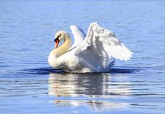 Swan. Beautiful swan showing it's wings in Norway in April 2013 Stock Images