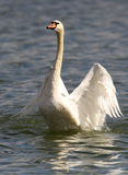 Beautiful swan spreads its wings Stock Photo