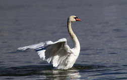 Beautiful swan spreads its wings Stock Photography