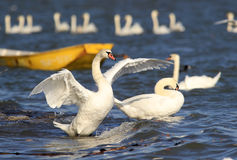 Beautiful swan spreads its wings Royalty Free Stock Photography
