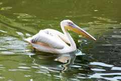 Beautiful pelican swimming at the egyptian zoo Royalty Free Stock Images