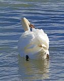 Beautiful swan swimming in the lake Stock Photo