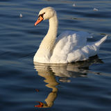 Beautiful swan swimming Stock Images