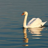 Beautiful swan swimming Stock Photography