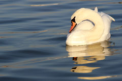 Beautiful swan swimming Stock Photos