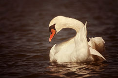 Beautiful swan Stock Photo