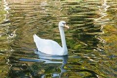 Beautiful Swan. Royalty Free Stock Image