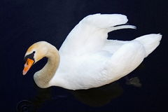 Beautiful Swan swimming in the water and watching you Stock Photo