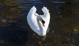 Beautiful swan swimming with wings up Stock Images