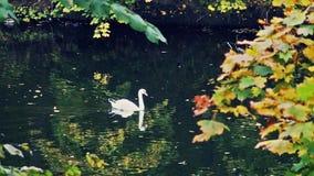 Beautiful swan swims in the autumn lake. Beautiful lake in the autumn park stock video