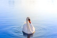 Beautiful swan swims in crystal clear blue water stock photography