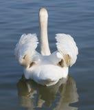 Beautiful swan swims. In the beautiful lake Leman Geneva Switzerland Stock Photos