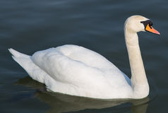 Beautiful swan swims Stock Image