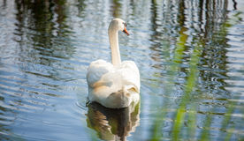 Beautiful swan tail on river Stock Photography