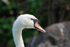 Beautiful Swan with Water Dripping From His Beak. Gorgeous white swan with water dripping from his bill stock photos