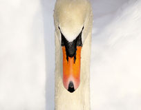 Beautiful Swan - wet and refreshed. Beautiful Mute Swan after a swim - water droplets on feathers royalty free stock photo