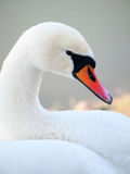 Beautiful swan Royalty Free Stock Image