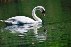 So beautiful swan in wild life Royalty Free Stock Photo