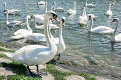 Beautiful Swans – Cygnus, birds scene Stock Photos