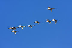 Beautiful swans Royalty Free Stock Photo