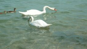 Beautiful swans and ducks swimming in a body of water. Two white swans and two ducks swim on a sea waves and drink water at sunny day. High quality footage stock footage