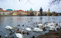 Beautiful swans  and ducks on Vltava river in Prague Royalty Free Stock Images