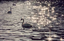 Beautiful Swans in Europe Stock Photography